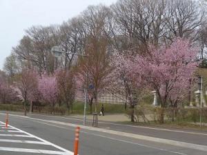 20150428神社の桜