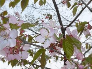 20170505桜2